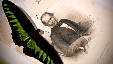 Rajah Brooke's Birdwing male (Trogonoptera brookiana) shown with a steel engraving of Sir James Brooke, the famous 'White Rajah' of Sarawak who Wallace named the butterfly for Wallace had been the gue...  -  Paul D Stewart/ npl
