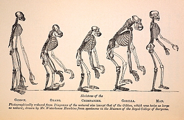 Illustartion of series of primate skeletons, the frontis engraving by Waterhouse Hawkins from the first edition of Huxley's 1863 'Evidences as to Man's Place in Nature' In this book Huxley presented h...  -  Paul D Stewart/ npl