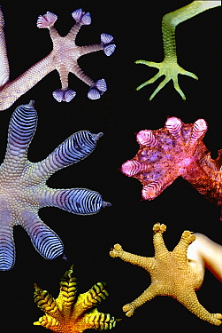 Photomontage of living gecko feet showing a variety of forms Gecko feet employ very small subdivided filaments to bond with their substrates at the molecular level using Van Der Waals' forces Every sq...  -  Paul D Stewart/ npl