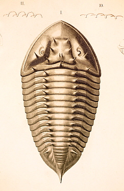 Illustration of Trilobite (Homalonotus armatus) from 'Organization of the Trilobites' by Hermann Burmeister, appearing in the Ray Society translation of his work published in 1846 The illustrations an...  -  Paul D Stewart/ npl