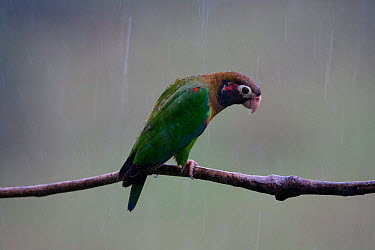 Brown hooded parrot (Pyrilia haematotis) Laguna del Lagortos, Costa Rica January  -  Sue Flood/ npl