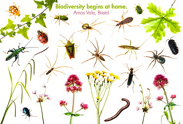 Composite of insects, arachnids and plants found on the Arnos Vale BioBlitz, Bristol, UK, June 2012 meetyourneighboursnet project Orange ladybird (Halyzia sedecimguttata), Ivy (Hedera helix), Green we...  -  Niall Benvie/ npl