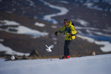 A male (left) and female Ptarmigan (Lagopus mutus) in winter plumage taking flight from an ice field as a skier passes by, Cairngorms National Park, Scotland, UK, March 2011 2020VISION Exhibition  -  Andrew Parkinson/ 2020V/ npl