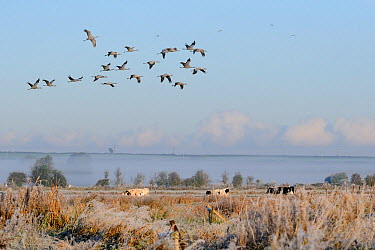 Flock of twenty juvenile Common, Eurasian cranes (Grus grus) recently released by the Great Crane Project onto the Somerset Levels and Moors, flying over grazing cattle, Somerset, England, UK, October...  -  Nick Upton/ 2020V/ npl