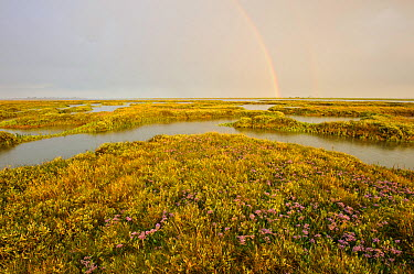 Common sea lavender (Limonium vulgare) and Sea purslane (Halimione portulacoides) growing on regenerated saltmarsh habitat, with rainbow, Abbotts Hall Farm Nature Reserve, Essex, England, UK, July 201...  -  Terry Whittaker/ 2020V/ npl