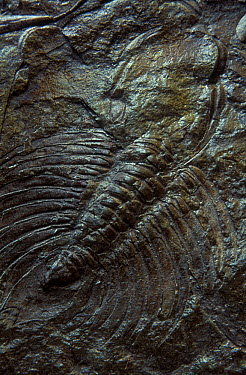 Fossil of a Trilobite (Ceratarges sp) from the Devonian period, Asturias, Spain  -  Juan Carlos Munoz/ npl