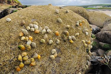 Dense cluster of Dog whelks (Nucella lapillus), predators of barnacles, on rocks encrusted with Common barnacles (Semibalanus balanoides) exposed at low tide, St Bees, Cumbria, UK, July  -  Nick Upton/ npl
