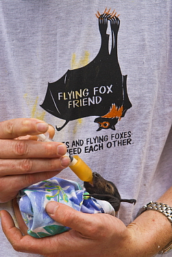 Spectacled flying fox (Pteropus conspicillatus) baby swaddled in cloth ready to sleep, being hand fed from syringe by volunteer wildlife carer wearing a Flying Fox Friend T-shirt, Tolga Bat Hospital,...  -  Jurgen Freund/ npl