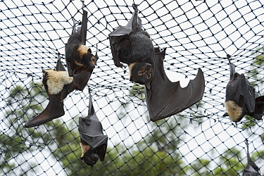 Spectacled flying foxes (Pteropus conspicillatus) hanging from roof of their enclosure, Tolga Bat Hospital, Atherton, North Queensland, Australia January 2008  -  Jurgen Freund/ npl