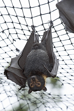 Spectacled flying fox (Pteropus conspicillatus) hanging from roof of their enclosure, Tolga Bat Hospital, Atherton, North Queensland, Australia January 2008  -  Jurgen Freund/ npl