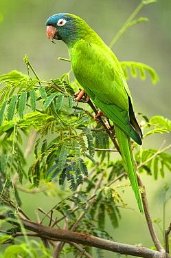Bolivian Blue-crowned Parakeet, Conure (Aratinga acuticaudatus neumanni) Captive Santa Cruz, Bolivia  -  Daniel Heuclin/ npl