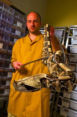 Gaboon Viper (Bitis gabonica rhinoceros) handled by worker at venom collection laboratory Ghana, Africa  -  Daniel Heuclin/ npl