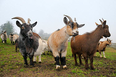 Three adult Pygmy goats (Capra hircus) standing in a fenced paddock on a misty morning, Wiltshire, UK, March  -  Nick Upton/ npl
