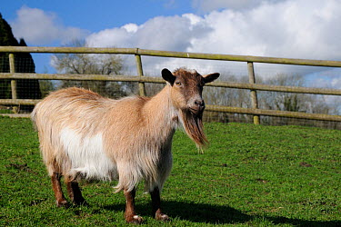 Pygmy goat (Capra hircus) with large beard in grassland paddock, Wiltshire, UK, March  -  Nick Upton/ npl