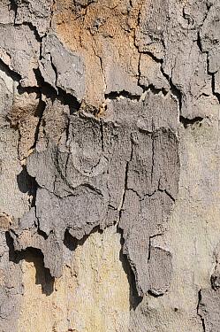 Cracked, peeling bark of pollution resistant London Plane Tree (Platanus x hispanica), London, UK, May 2012  -  Nick Upton/ npl