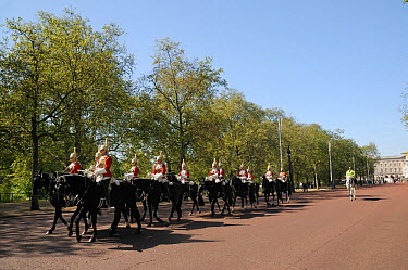 Horse Guards parading on The Mall, past avenue of London Plane Trees (Platanus x hispanica), with Buckingham Palace in the background, London, UK, May 2012  -  Nick Upton/ npl