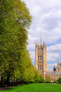 Row of London Plane Trees (Platanus x hispanica) lining Victoria Tower Gardens with the Palace of Westminster in the background, London, UK, May 2012  -  Nick Upton/ npl