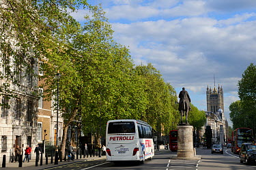 Row of London Plane Trees (Platanus x hispanica) lining Whitehall with the Victoria Tower of Westminster Palace in the background, London, UK, May 2012  -  Nick Upton/ npl