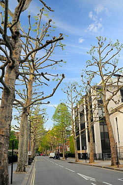 London Plane Trees (Platanus x hispanica), many of them pollarded, lining John Islip Street by the Tate Britain gallery, London, UK, May 2012  -  Nick Upton/ npl