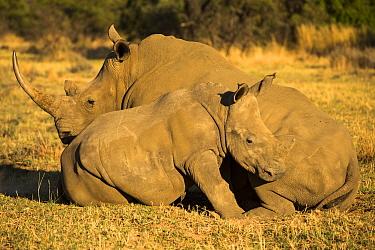 White rhinoceros (Ceratotherium simum)  -  Uri Golman/ npl