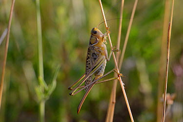 Heath Bush Cricket (Gampsocleis glabra) female France, July  -  Fabrice Cahez/ npl