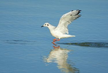 Bonaparte's Gull (Chroicocephalus philadelphia) in winter (non-breeding) plumage, taking flight from water East Harbor State Park, Lake Erie, Ohio, USA, September  -  Marie Read/ npl