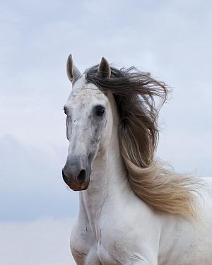Portrait of a grey Andalusian stallion, in Ciutadella, Menorca, Spain  -  Kristel Richard/ npl