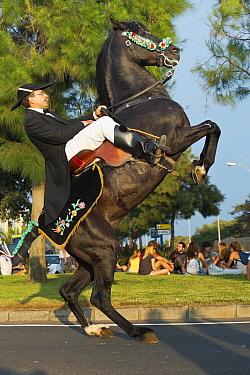 Man riding a black Menorquin stallion, performing the bot or walking courbette of the Doma Menorquina, during the festival Mare de Deu de Gracia, in Mahon, Menorca, Spain 2012  -  Kristel Richard/ npl