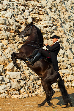 Man riding a black Menorquin stallion, performing the bot or walking courbette of the Doma Menorquina, Talaiot de Trepuco, near Mahon, Menorca, Spain 2012  -  Kristel Richard/ npl