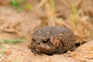 Cape Mountain Rain Frog (Breviceps montanus) deHoop nature reserve, Western Cape, South Africa, September  -  Tony Phelps/ npl