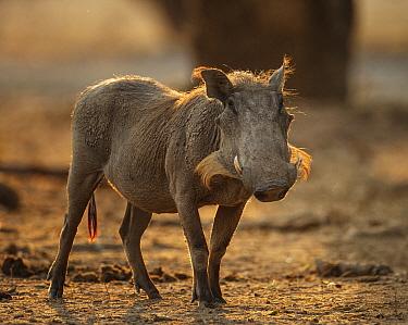 Warthog (Phacochoeros aethiopicus) backlit portrait, Mana Pools National Park, Zimbabwe October 2012  -  Tony Heald/ npl