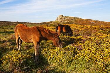Dartmoor Ponies (Equus caballus) in gorse and bell heather Dartmoor National Park, Devon, UK, August  -  Andrew Cooper/ npl