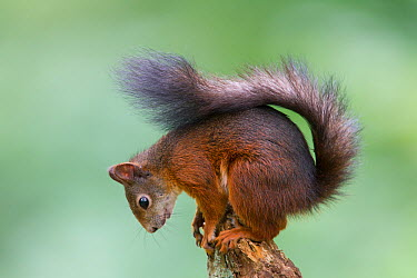 Red Squirrel (Sciurus vulgaris) sitting on tip of broken Germany, July  -  Hermann Brehm/ npl