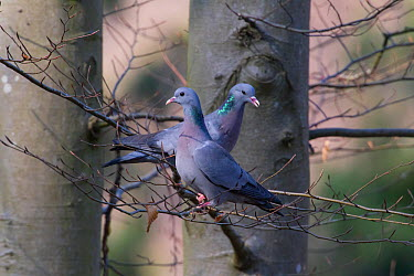 Stock Dove (Columba oenas) pair perched on branches, Germany, March  -  Hermann Brehm/ npl