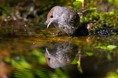 Blackcap (Sylvia atricapilla) female reflected in water, Germany, July  -  Hermann Brehm/ npl