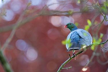 Kereru, New Zealand Pigeon (Hemiphaga novaeseelandiae) Christchurch, New Zealand, October  -  Andrew Walmsley/ npl