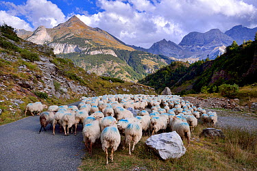 Sheep (Ovis aries) flock in mountain landscape, being herded along road Ossoue valley, French Pyrenees, September  -  Loic Poidevin/ NPL