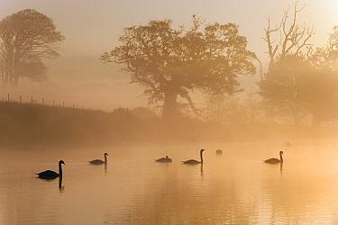Mute Swans (Cygnus olor) silhouetted on water at sunrise on foggy morning, Felbrigg, Norfolk, November  -  Ernie Janes/ npl