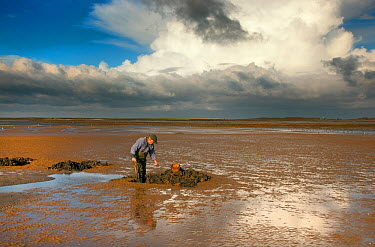 Man digging for lug worms (Arenicola marina) for fisbing bait, towards Blakeney Point Norfolk, November  -  Ernie Janes/ npl