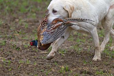 Yellow Labrador retrieving cock pheasant (Phasianus colchicus), during pheasant shoot Essex, November  -  Ernie Janes/ npl