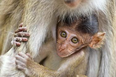 Crab eating macaque (Macaca fascicularis) infant portrait, Tanjung Puting National Park, Central Kalimantan, Borneo, Indonesia  -  Suzi Eszterhas/ npl