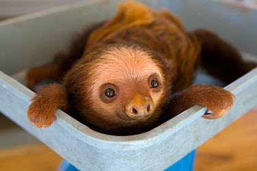 Hoffmann's Two-toed Sloth (Choloepus hoffmanni)orphan baby being weighed, Aviarios Sloth Sanctuary, Costa Rica  -  Suzi Eszterhas/ npl