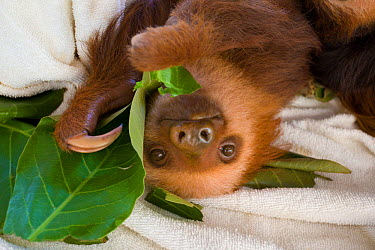 Hoffmann's Two-toed Sloth (Choloepus hoffmanni) orphan baby feeding on leaves in Aviarios Sloth Sanctuary, Costa Rica  -  Suzi Eszterhas/ npl