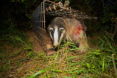 European Badger (Meles meles) emerges from a cage trap following its successful vaccination against bovine tuberculosis (bTB) during vaccination trials The red dye on its flank denotes that the badger...  -  Neil Aldridge/ npl