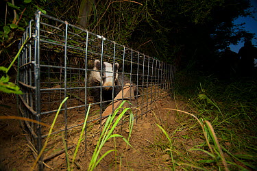 A European Badger (Meles meles) caught in a cage trap awaiting vaccination as part of bovine tuberculosis (bTB) vaccination trials on farmland in Gloucestershire, UK June 2011 Part of winning portfoli...  -  Neil Aldridge/ npl