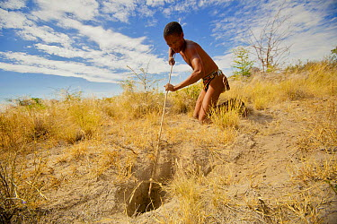 A young Zu, 'hoasi Bushman hunter uses a long pole with a hook on the end to catch Spring Hares (Pedetes capensis) in a burrow in the Kalahari, Botswana April 2012  -  Neil Aldridge/ npl