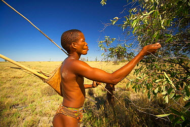 A young Zu, 'hoasi Bushman hunter carrying a bow, a quiver of arrows and a pole for hunting Spring Hares (Pedetes capensis) stops to pick fruit from a bush on the open plains of the Kalahari, Botswana...  -  Neil Aldridge/ npl