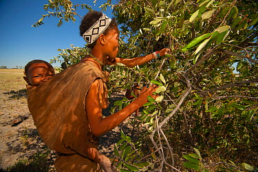 A Zu, 'hoasi Bushman woman carrying an infant on her back picks berries from a bush on the open plains of the Kalahari, Botswana April 2012  -  Neil Aldridge/ npl