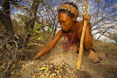A Zu, 'hoasi Bushman woman digging for a tuber in the Kalahari, Botswana April 2012  -  Neil Aldridge/ npl