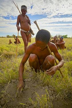 A young Zu, 'hoasi Bushman digs up a small tuber from the dry earth of the Kalahari, Botswana April 2012  -  Neil Aldridge/ npl